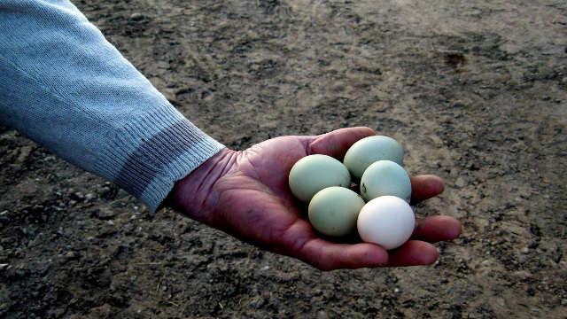 Šumadija - koke nose zelena jaja!