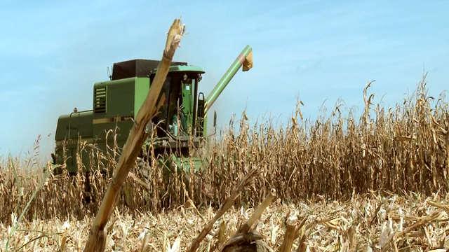 Agrimax hibridi kukuruza - Muro
