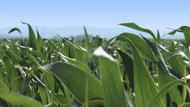 Ne zaboravite na pravovremenu zaštitu kukuruza!