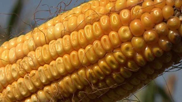 Pogledajte iskustva ratara koji su sejali LK hibride kukuruza!