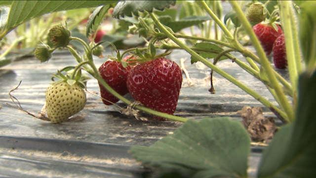 Kako da ostvarite dobar rod jagoda