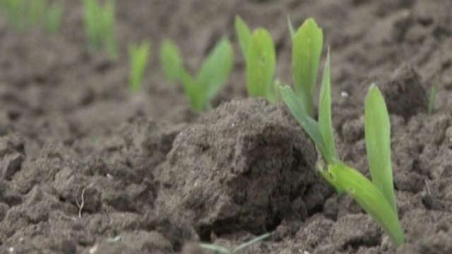 Istraživali smo: Šta se događa na tržištu kukuruza?