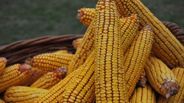 Setva kukuruza pred vratima