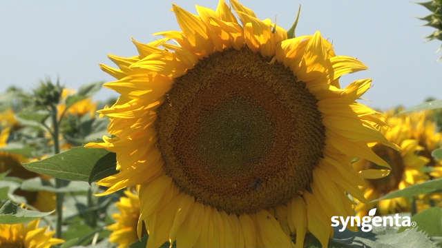 Syngenta hibridi suncokreta – SY Edenis