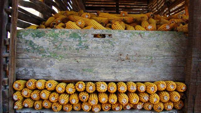 Agrimax hibridi kukuruza - Dandi