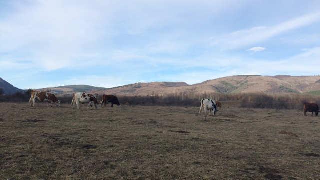 Vesti - Austrijske steone junice na putu ka zrenjaninskim stočarima