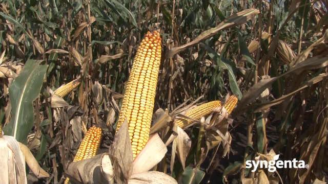 Syngenta hibridi kukuruza - za provereno dobar rod!