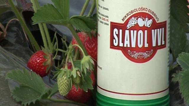 Za čvrste, krupne i sočne plodove jagode - Slavol VVL