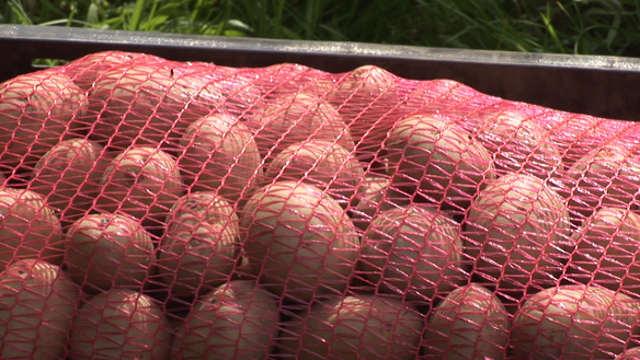 Evo kako izgleda savremena setva krompira!