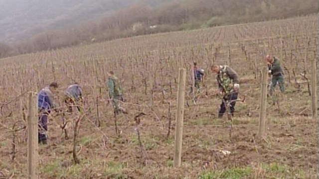 Zašto kasni rezidba vinograda u Vršcu?