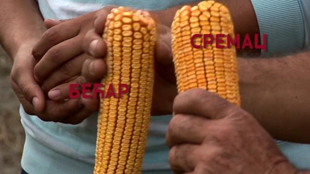 Izaberite LK hibride kukuruza – jer ih stoka veoma rado jede!