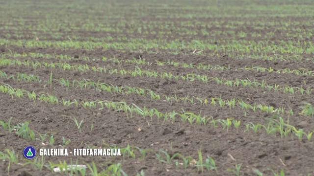 Izaberite vrhunske partnere za suzbijanje korova u kukuruzu!