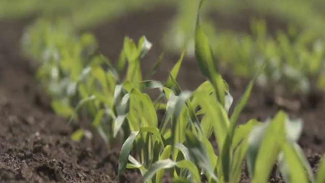Nekoliko proverenih preparata za borbu protiv korova u kukuruzu