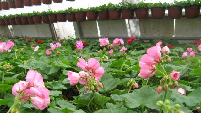Počeo Sajam hortikulture u Kragujevcu - Dva dana cveća!