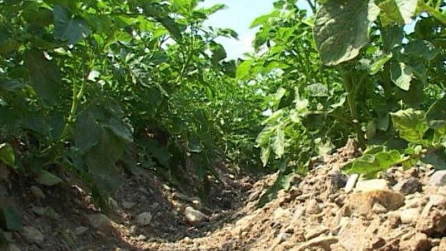 Kako da se izborite protiv insekata i korova u krompiru?