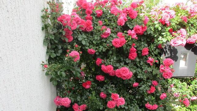 Saznajte kako da i vaše ruže budu ČUDESNE!