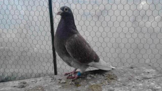 Iako ima dugu tradiciju u Srbiji, za golubarstvo se mladi sve manje odlučuju!