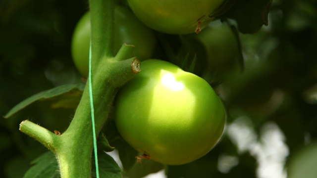 VIDEO VODIČ: Kako da presadite paradajz bez muke