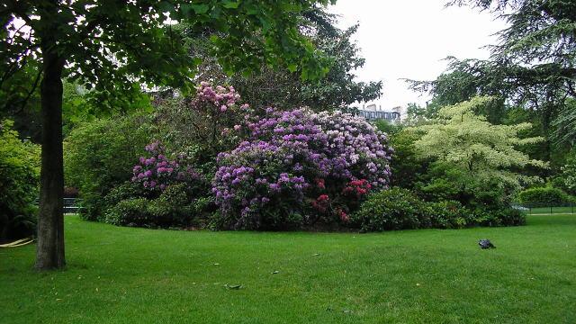 Rododendron - grm koji u vreme cvetanja oduzima dah