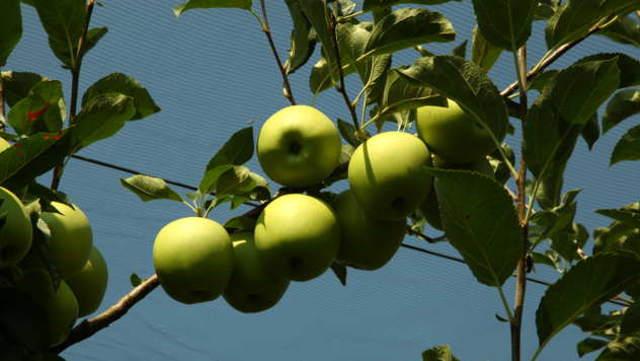 SADA je vreme da zaštitite jabučaste vrste voća! Zato ove SAVETE nemojte propustiti!