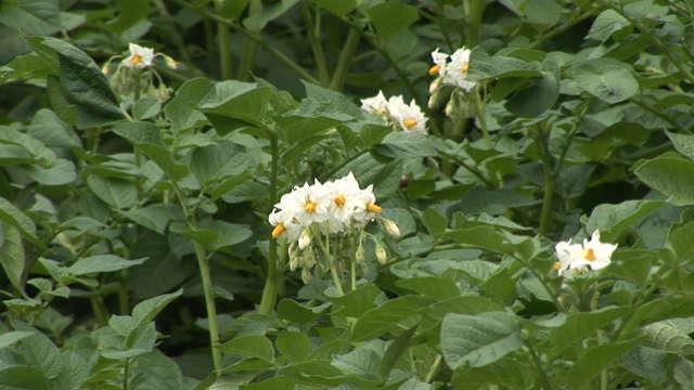 Cvetanje krompira u Gospođincima – prizor koji će se svakom povrtaru dopasti!