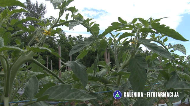 Zaštitite paradajz nakon rasađivanja!