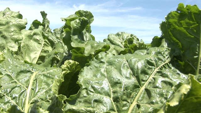 Kako da pravilno zaštitite šećernu repu