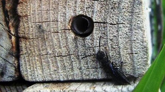 Vesti - Polen suncokreta štiti pčele od parazita!