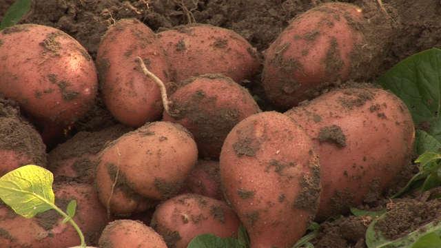 """Otkrivamo vam kakvi su efekti preparata """"Bakterije"""" u krompiru!"""