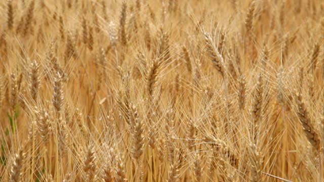 Saznali smo šta ratari očekuju od ovogodišnje žetve pšenice!