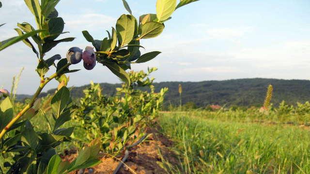 Otkud borovnica u Šumadiji i hoće li zameniti šljivike?
