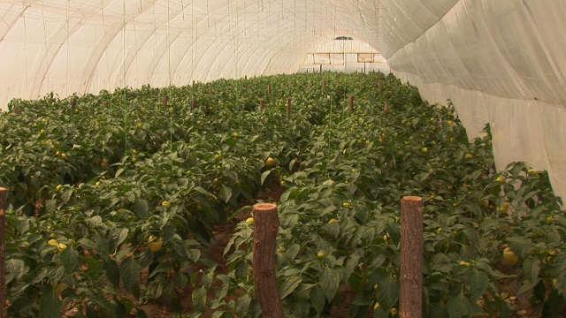 Kako se mladi leskovački povrtari bore protiv niske cene paprike?