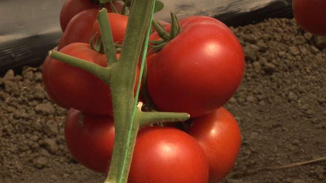 Omiljen kod Srba: Evo odakle potiče paradajz i zašto ga treba jesti