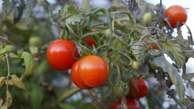 Zaštita povrća tokom letnjih dana - SAVET STRUČNJAKA!