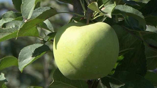 Kako je jabuka OSVOJILA SVET?