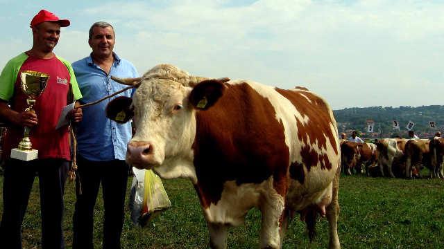 Krava Šarka - šampionka Šumadijskog sajma poljoprivrede u Kragujevcu!