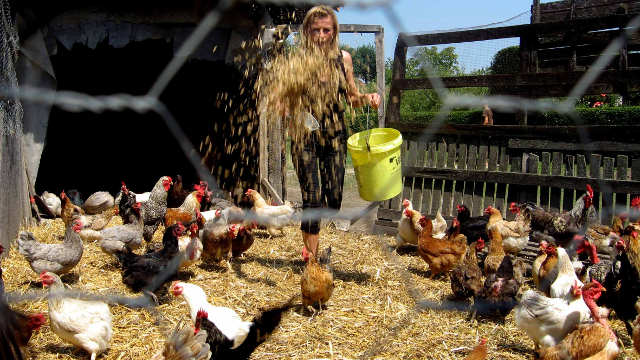 Kako napraviti kompost od kokošijeg stajnjaka- © Agromedia