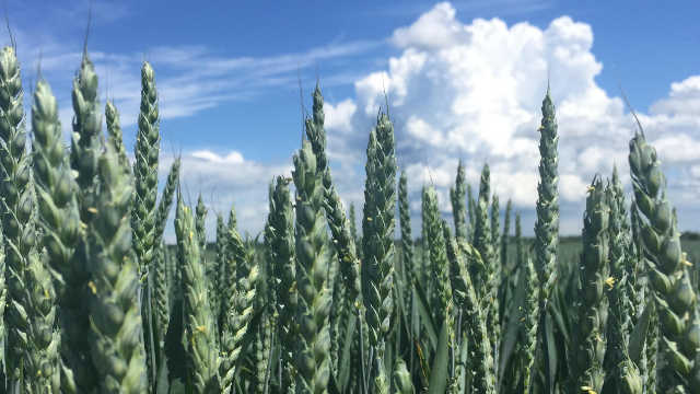 Avenue - pšenica za visoke i stabilne prinose!
