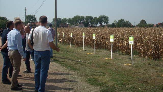 U Braničevu crvenilo kukuruza nije uticalo na prinos!
