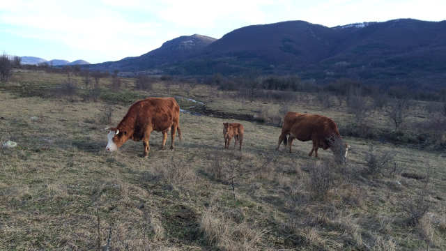 Vesti - Održana izložba goveda kod Bujanovca