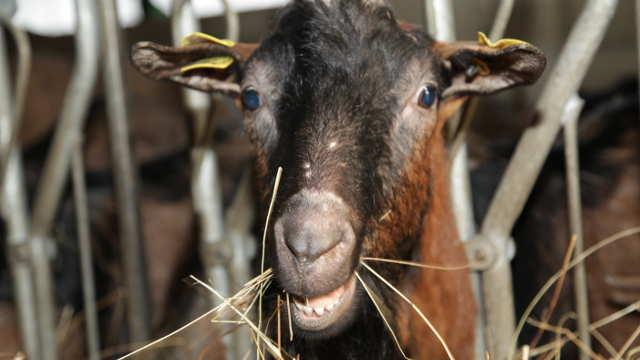 Da li ste znali da su koze jednako pametne kao i psi?