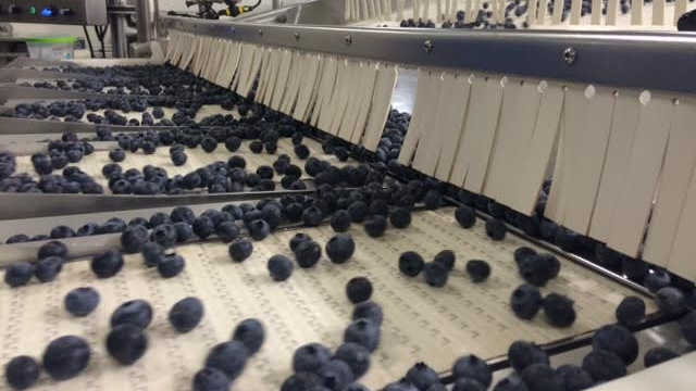 Kako se borovnice proizvode u Holandiji - od plantaže do trpeze!