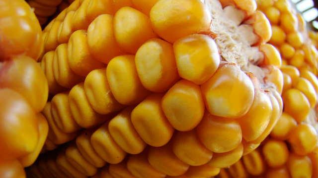 """Vesti - """"Bayer"""" neće uvoziti GMO seme u Evropu!"""