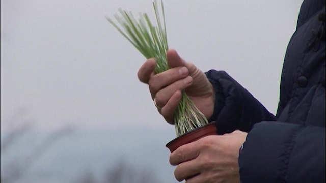 Naklijala pšenica može da se koristi u ishrani stoke