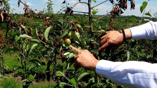 Novembar u voćnjaku  - sanacijska rezidba i čišćenje