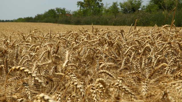 Stručnjaci savetuju: požurite sa setvom pšenice!