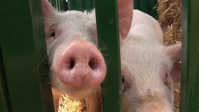 Odluka ZLATA vredna: Ovo je zlatar koji je odlučio da postane svinjar