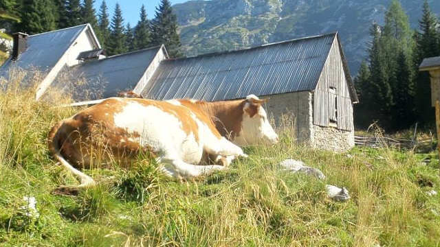 Hoćemo li iskoristiti ponuđene šanse za razvoj proizvodnje junećeg mesa u Srbiji?