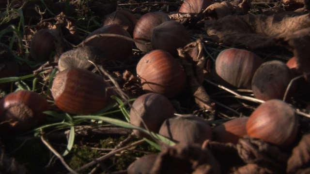 Lešnik – drvo čiji rod vredi čekati!