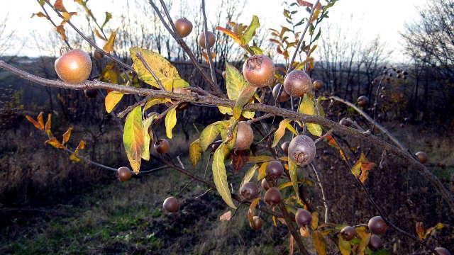 Mušmula - poslednja voćka u sezoni